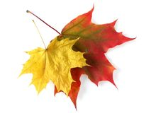 Free Maple Leaves Royalty Free Stock Image - 11781586