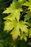 Maple leaves Stock Photos