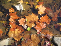 Maple leaves. Floating on a surface of a little stream Stock Photos