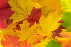 Free Maple Leaves Stock Image - 12188341