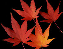 Maple Leaves. A close-up of bright red and yellow maple leaves on a black background Stock Images