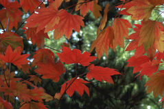 Maple Leaves. In fall transitional color royalty free stock image