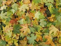 Maple leaves. Fallen maple leaves on the grass in autumn Stock Photo