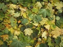 Free Maple Leaves Stock Photo - 1389740