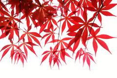 Free Maple Leaves Stock Image - 13980711