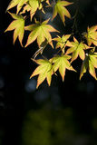 The maple leaves Stock Images