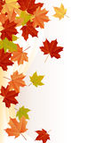Maple Leaves. Red, yellow, orange and green maple leaves Stock Photography