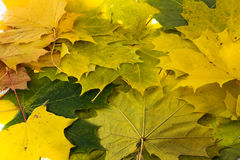 Maple leaves. The turned yellow leaves of a maple combined together in the autumn Royalty Free Stock Images