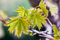 Maple leaves. New maple tree leaves on branch Royalty Free Stock Images