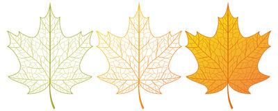 Maple leaves. Royalty Free Stock Images