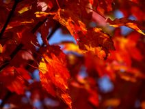 Maple leaves. In fall Stock Photos