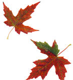 Maple Leaves - 2. Fall colored maple leaves flattened showing the beautiful natural hues of autumn Stock Photos