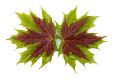 Maple leaves 2 Stock Photo