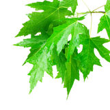 Maple leaves Royalty Free Stock Photo