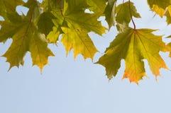 Maple leaves. Across the sunny sky stock photos