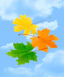 Maple leaves. On sky background stock photography