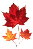 Maple leaves. Colorful maple leaves on white background Stock Image