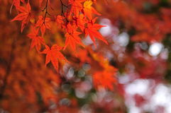 Maple leaves. The orange maple leaves make autumn colorful and melancholy Royalty Free Stock Photos