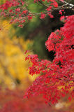 Maple leaves. The orange maple leaves make autumn colorful and melancholy Royalty Free Stock Images