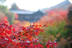Maple leaves. The maple leaves in the temple make autumn colorful and melancholy Stock Image