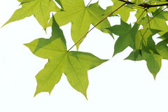 Maple leaves. The close-up of maple leaves with white background Stock Photo