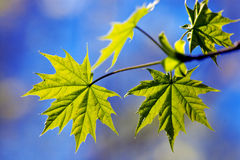 Maple leaves Stock Photos