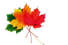 Maple leaves Stock Images