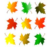 Maple leaves. Isolated on white background Stock Images