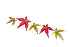The maple leaves Royalty Free Stock Photos