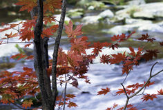 Maple leaves. Bright red maple leaves by the river side Royalty Free Stock Photography