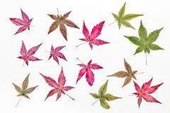 The maple leaves Royalty Free Stock Image