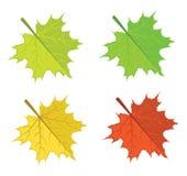 Maple leaves vector illustration