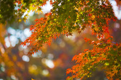Maple leaves. In tiangping Mountain Stock Images