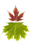 Maple leaves 3 royalty free stock image