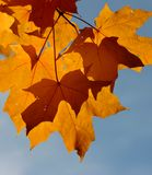 Maple Leaves. Fall color in maple leaves stock image