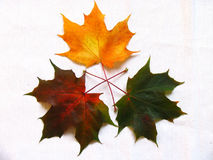 Maple leaves. Coloured palette of maple leaves Royalty Free Stock Photo