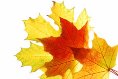 Maple leaves. Autumn maple leaves isolated on white background Stock Images
