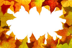 Maple leaves. Autumn maple leaves isolated on white background Stock Photography