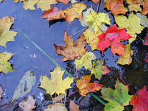 Maple leaves. Fall on water Royalty Free Stock Images