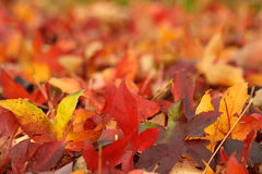 Maple Leaves. Autumn Maple leaves on the ground, swallow depth of field Stock Photography