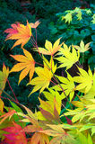 Maple Leaves. Red and gold Japanese Maple leaves against a dark green background royalty free stock images