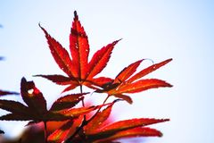 Maple. Leaves in the Stock Photos