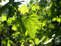 Maple leaves. Bright springtime green maple leaves Stock Photography