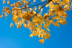 Maple leaves. Yellow maple leaves in the sky Stock Photography