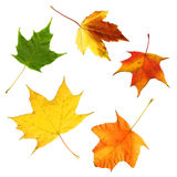 Maple leaves. Five colorful maple leaves isolated on white background Stock Images