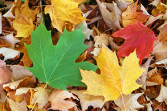 Maple Leaves. Background, autumn in Canada Stock Photo