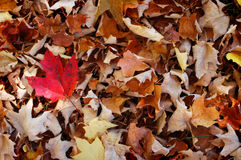 Maple Leaves. Background, autumn in Canada Royalty Free Stock Photo