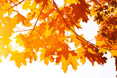 Free Maple Leaves Stock Photography - 6684672