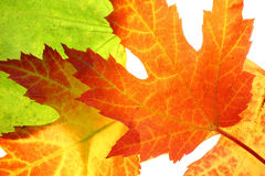 Maple leaves. Close up isolated on white Stock Photo
