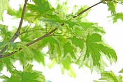 Maple leaves. Close up of the green maple leaves Royalty Free Stock Images